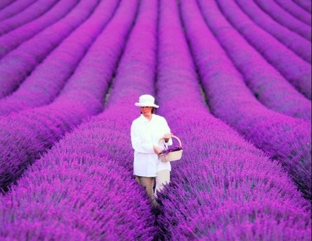 مزارع اسطوخودوس فرانسه