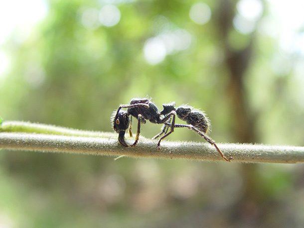 مورچه گلولهای