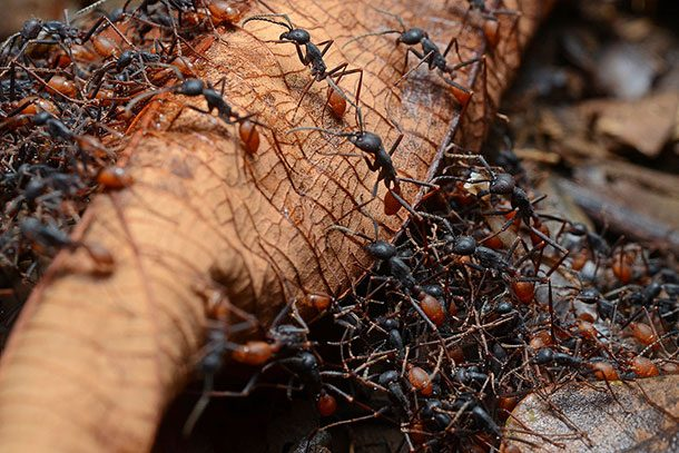مورچه ارتشی