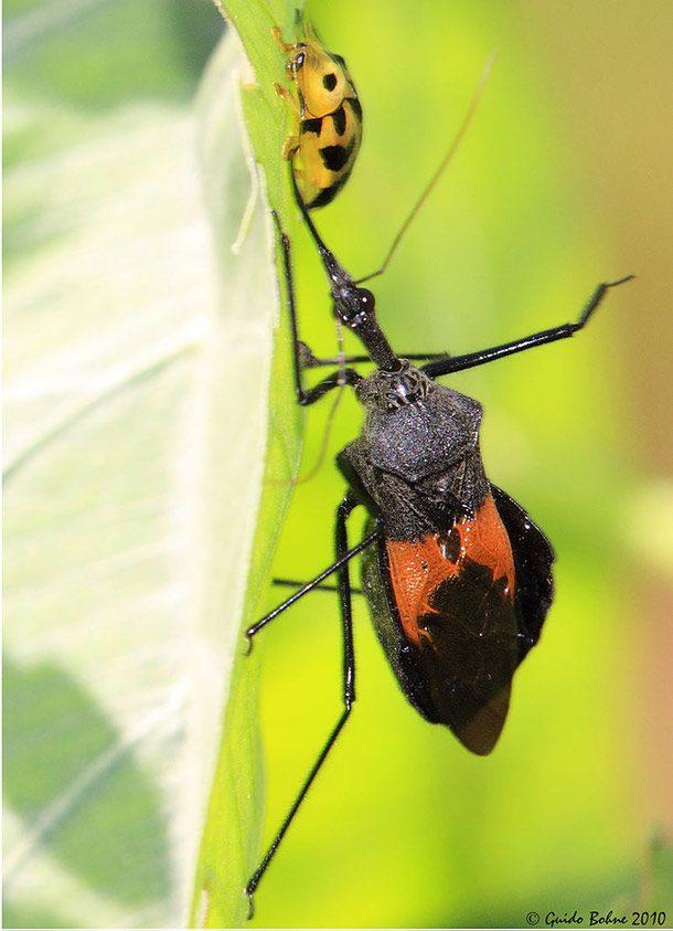 حشرات قاتل