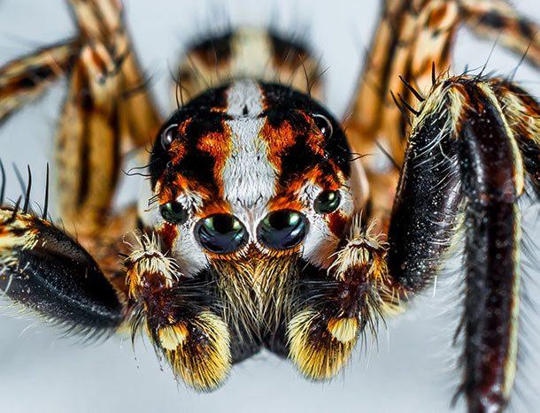 عنکبوت سرگردان برزیلی