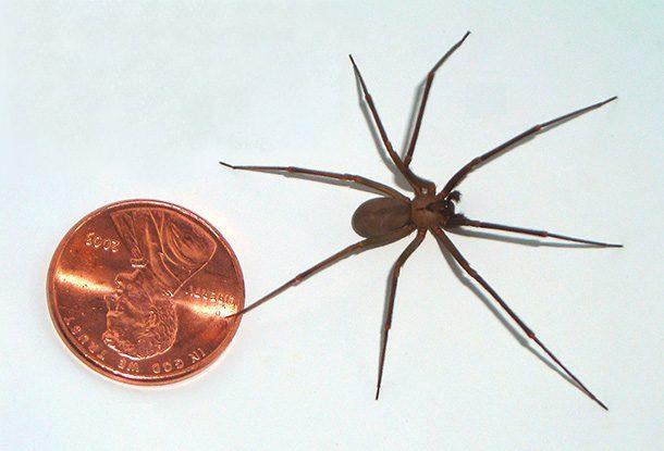 عنکبوت قهوهای تنها