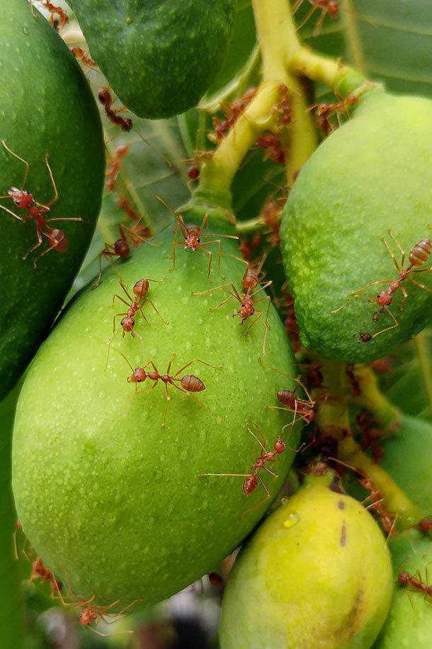 مورچه های آتشین