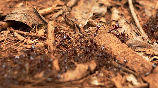 مورچه های راننده یا سیافو