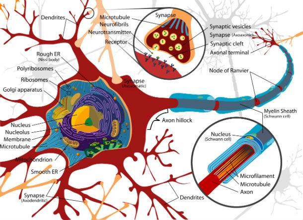 نورون های مغزی