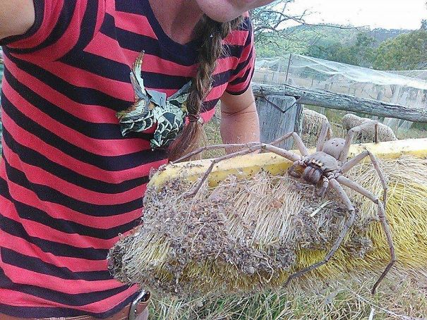 یکی از بزرگترین و خطرناکترین عنکبوتهای استرالیا