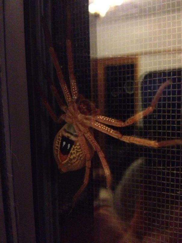 یک عنکبوت خطرناک روی پنجره خانه