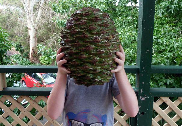 سایز این میوه کاج، که باعث مرگ افراد زیادی هم شده است