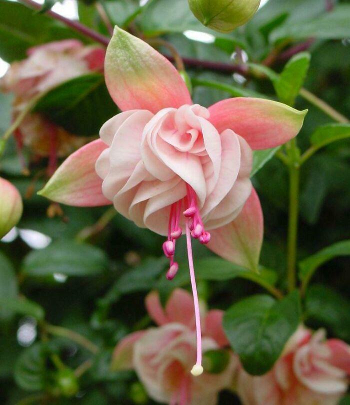 گل گوشواره صورتی رنگ