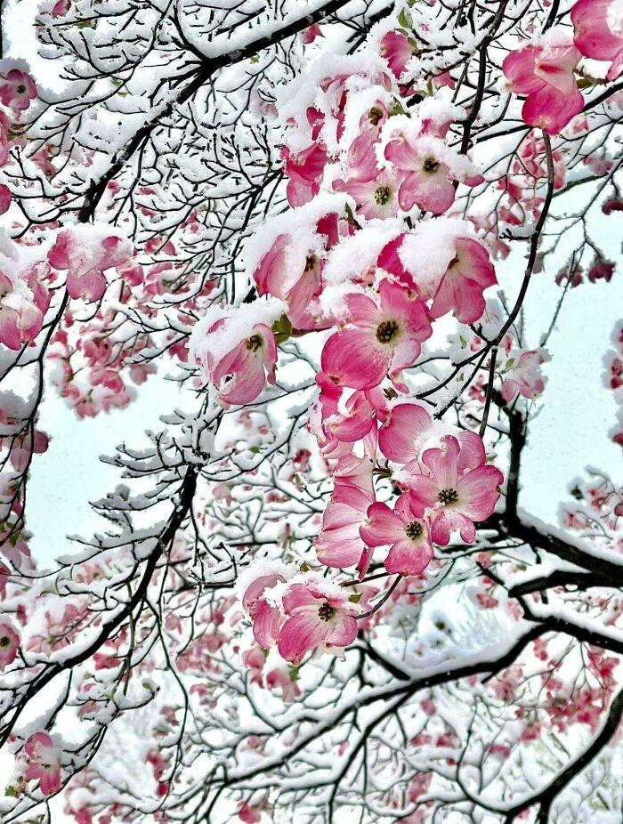 شکوفههای صورتی رنگ این درخت زیر برف