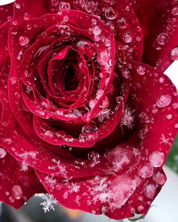 یک گل رز یخ زده