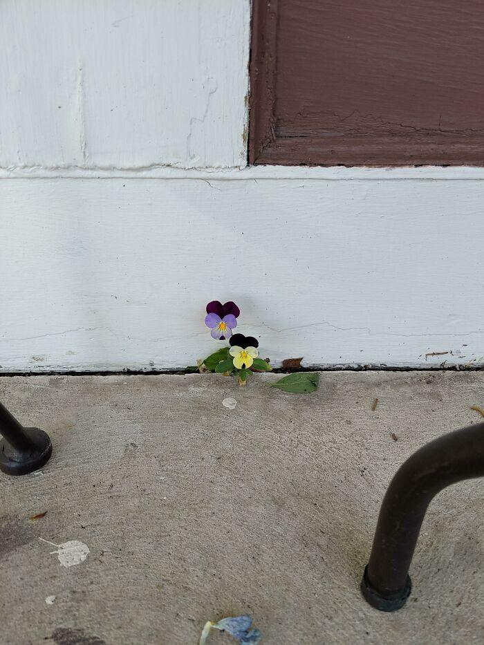 گلهای بنفشه زیبا در کنار پیاده رو