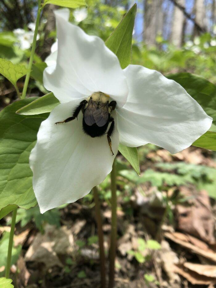 یک زنبور درون یک گل Trillium Grandiflorum