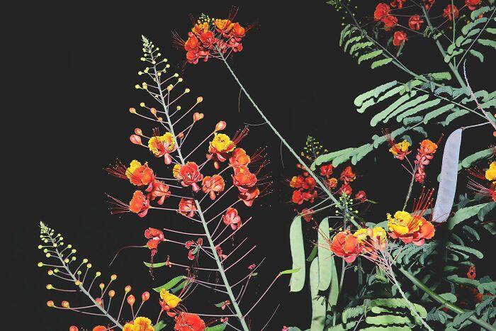 گل قرمز مکزیکی در شب
