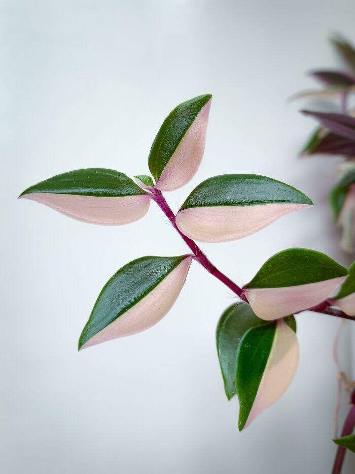 نمی دونم چرا، ولی این شاخه مورد علاقه من از گیاه ترادسکانتیا یا برگ بیدی محسوب میشه!