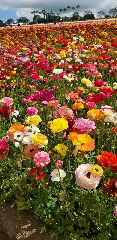 رنگهای جذاب این گلها در کالیفرنیا