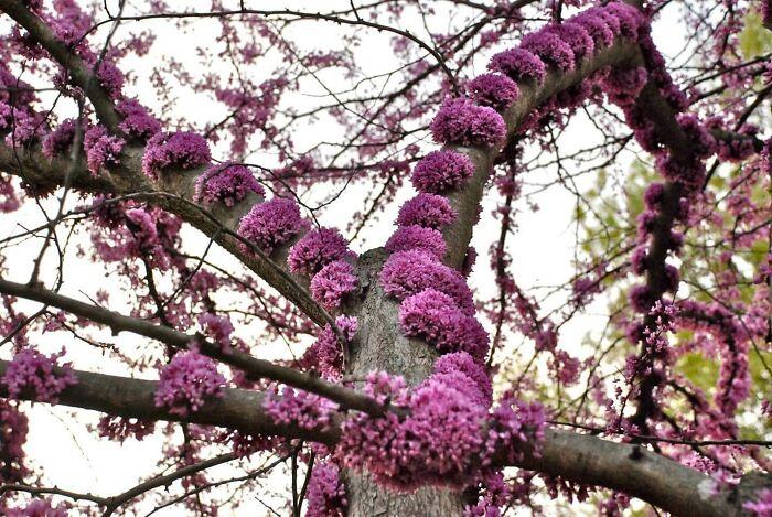 گیاه ارغوان کانادایی با شکوفههایش