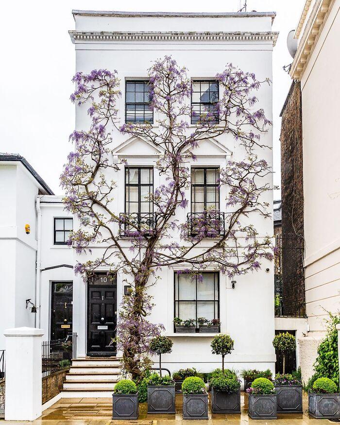 درخت ویستریای زیبا در لندن