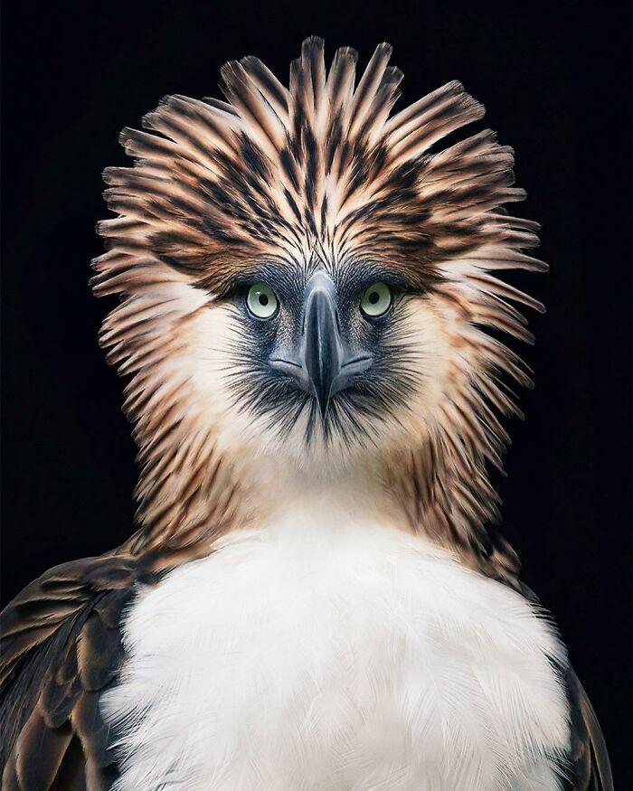عقاب فیلیپینی