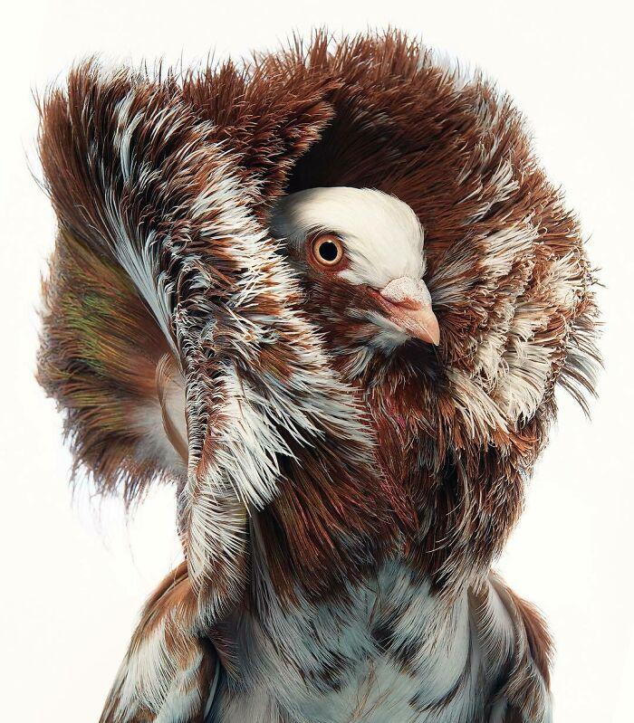 کبوتر یعقوبی قهوهای