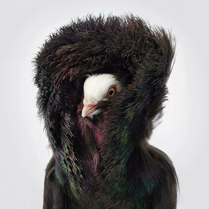 کبوتر یعقوبی سیاه