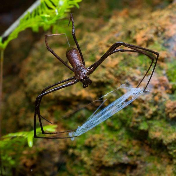 یک عنکبوت با تار متحرک!