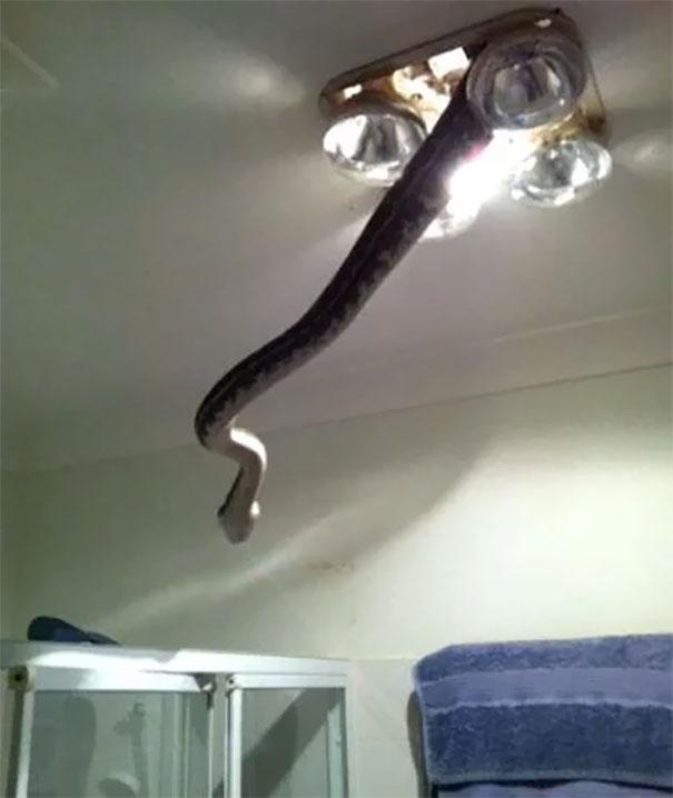 یک مار سمی در حال خروج از لامپ سقف