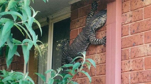 یک مارمولک معمولی در استرالیا!