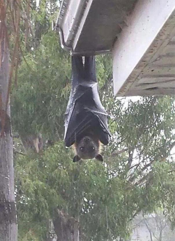 سایز این خفاش ترسناک!