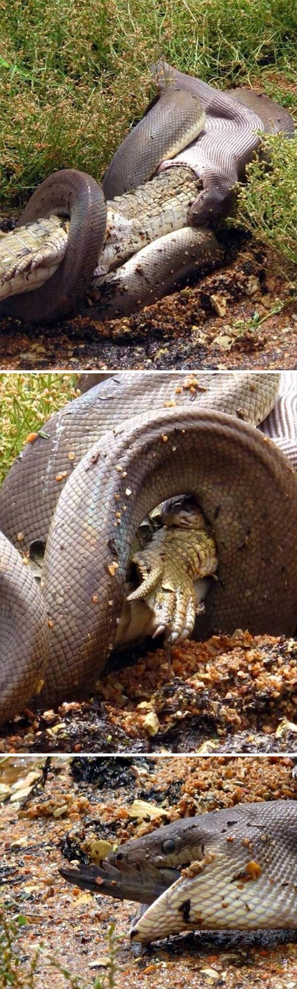 یک مار در حال بلعیدن یک تمساح