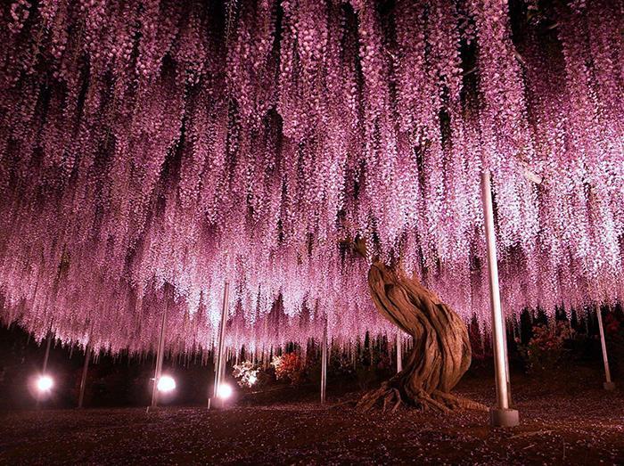درخت ویستریا 150 ساله