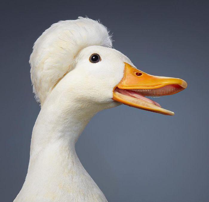 اردک کاکلدار مینیاتوری