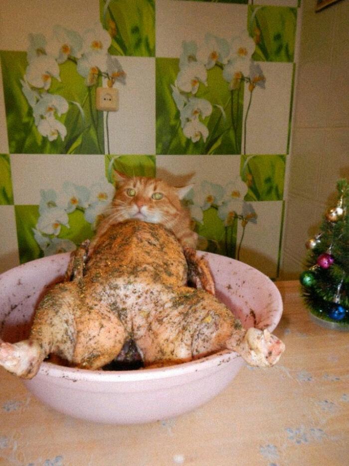 گربه شکم پر!