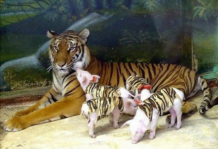 مامانشون خوک ها رو دست ایشون سپردن!
